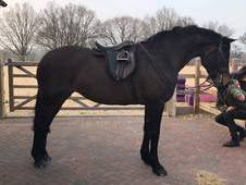 5yr old hunter type for sale
