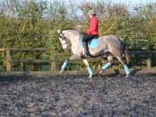 FOR SALE PRE Mare 16. 1hh 10years old