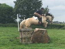 Super Stunning Buckskin and white cob mare