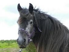 Stunning, grey Fell mare