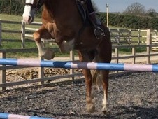 Perfect show/all rounder/riding club horse