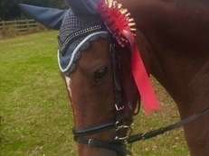 14.1hh 13 year old British Riding Pony