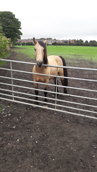 History wanted. 14.2 Dun Highland type gelding. 7 years old.