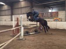 Super 15hh 6yr Old Hunter/All-Rounder/Riding Club