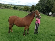 Welsh Mountain Pony . Section A