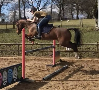 16HH 13Y/O SJ/DRESSAGE MARE FOR SALE