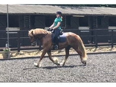 15hh gelding for sale