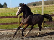 Quality dutch warmblood jumping colt