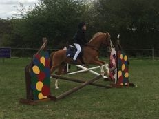 Welsh Section B – Chestnut – Gelding – 15 Years – 12.2 Hands