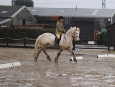 Registered Highland Gelding for sale