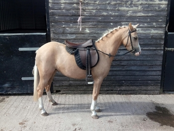 Beautiful Palamino 12hh 4yr old