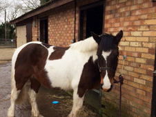 14. 2 Coloured Gelding