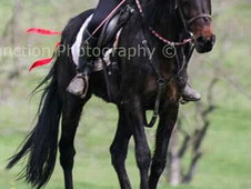 For SALE endurance/ happy hacker/ potential to be a nice broodmare.