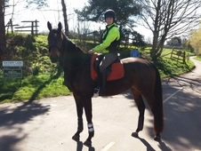 16. 3 TB Bay Gelding 6 yrs HACK/Low level work