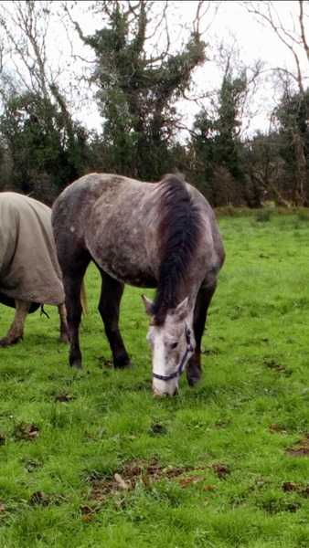WELL BRED IRISH DRAUGHT 2 YEAR OLD FILLY TO MAKE 16HH