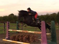 ***REDUCED! ! ***Superb fun but safe 15. 2hh 7 yr Old Black mare