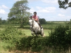 Stunning 16.2 Irish Grey Gelding