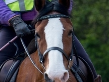 Bomb-Proof Steady Mare for Hacking near Guildford