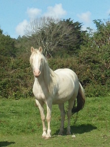 WOULD YOU LIKE TO BREED YOUR OWN FOAL -  MARES AVAILABLE WHICH HAVE BEEN RUNNING  WITH A STUD STALLION - OTHERS AVAILABLE