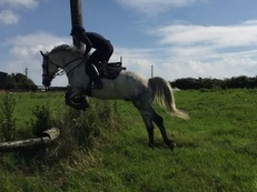15.2 connemara cross gelding 6 years old