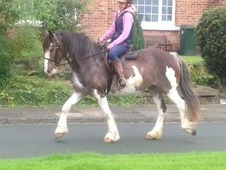 Stunning 14. 2hh 5yr old Ride & Drive Mare
