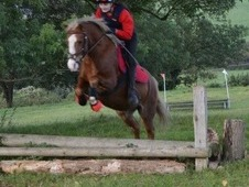 Section A Welsh Mountain Pony