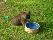 Quality pedigree Border Terriers puppies.