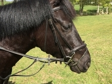 Stunning Black 14. 1hh New Forest Gelding