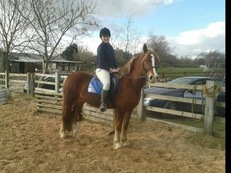 Gorgeous Chestnut Cob, Wonderful Potential