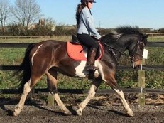 15h beautiful mare 6 year old