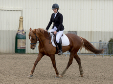 Well bred 15.1hh 7yo All-rounder that Excels at Dressage