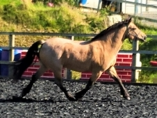 5 yr old Dun Section C Gelding WHP/Allrounder