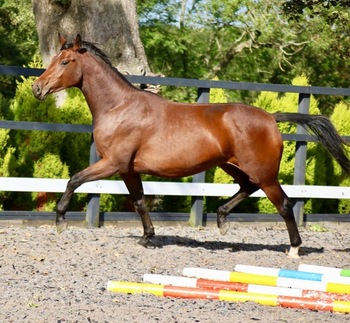 Exquisite Dressage Mare