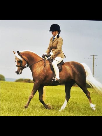 Gorgeous Welsh Sec B Mare