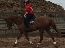 Player- 16hh 12 year old chestnut gelding