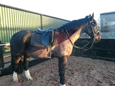 16. 2hh 9yo Irish gelding good weight carrier