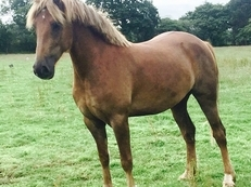 Welsh Section D Chestnut Roan - Perfect family all rounder 15.1hh