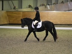 12HH Dartmoor 7 year old mare for sale
