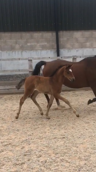 Exquisite Dressage Filly by Double Bubble out of St Pr mare