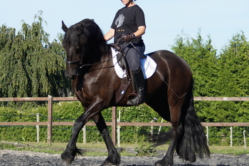 12 year old Friesian Mare
