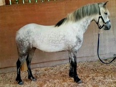 Top Quality performance pony, PC/Event/Dr/SJ/SHP/WHP/Hunting pony