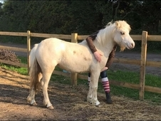 Palamino Welsh pony for sale
