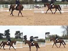 Beautiful 16.3 mare by Arko