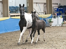 Homozygous tobiano and black