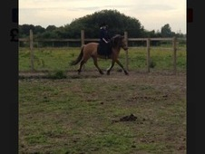 Murphy Moo 14hh 4 year old Norwegian fford section D for sale!