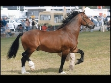 Striking Bay Welsh Sec D Cob - Gelding - 15. 1 - 11 yrs old