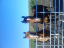 Shire x Section D Gelding 15. 1 & Red and White Cob X Colt.