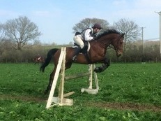 Beautiful TB gelding, 8yrs old, 16.1hh approx