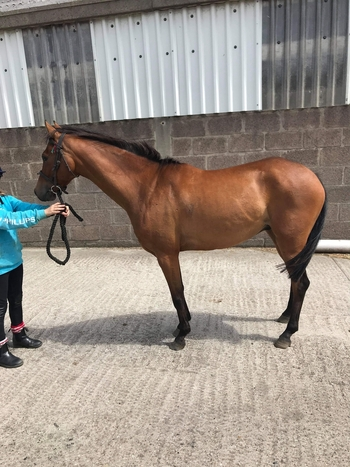 12.3hh 5 yr old show pony with good breeding for sale