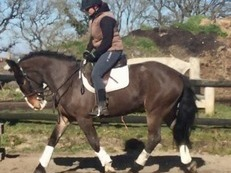 Fantastic Allrounder Gelding For Sale , Dorset